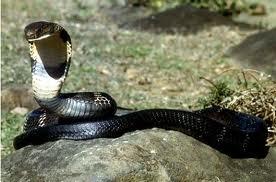 Cobra Real - Las serpientes más venenosas del mundo