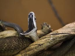 Mamba Negra - Las serpientes más venenosas del mundo