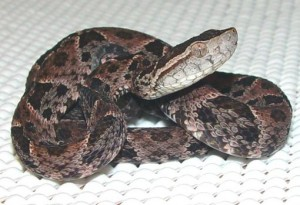 Serpirnte terciopelo1 - las serpientes más venenosas del mundo