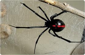 Araña Viuda Negra los animales más venenosos del mundo