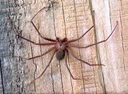 Araña reclusa parda los animales más venenosos del mundo
