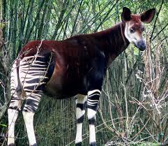 Okapi Animales Descubiertos Recientemente