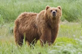Oso Kodiak Animales Descubiertos Recientemente