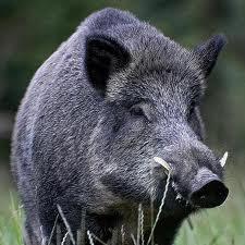 cerdos gigantes del bosque Animales Descubiertos Recientemente