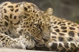Amur Leopard Top 10 Animales Con mayor Peligro de extinción del Mundo