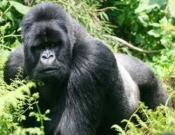 Gorila de montaña Top 10 Animales Con mayor Peligro de extinción del Mundo