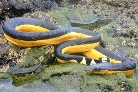 serpiente marina de barriga amarilla hermosas pero extremadamente peligrosas