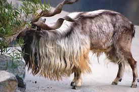 Markhor - Los animales mas extraños del mundo