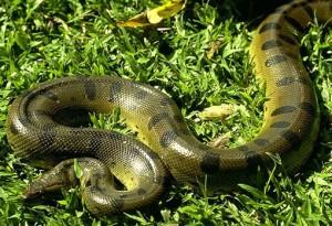 Serpirnte tigre - las serpientes más venenosas del mundo