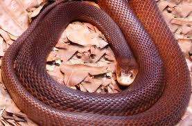 SerpirnteTaipan - las serpientes más venenosas del mundo