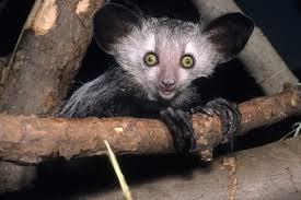 Aye-aye Animales Más Extraños Raros del Mundo