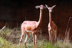 El Gerenuk Animales Más Extraños Raros del Mundo