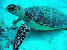La tortuga carey Top 10 Animales Con mayor Peligro de extinción del Mundo