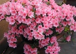 8 flores toxicas en el hogar